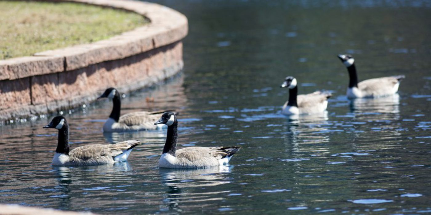 _7C41839_GEESE