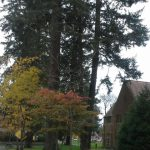 The giant trees on the campus of Pacific Lutheran University in Tacoma, WA
